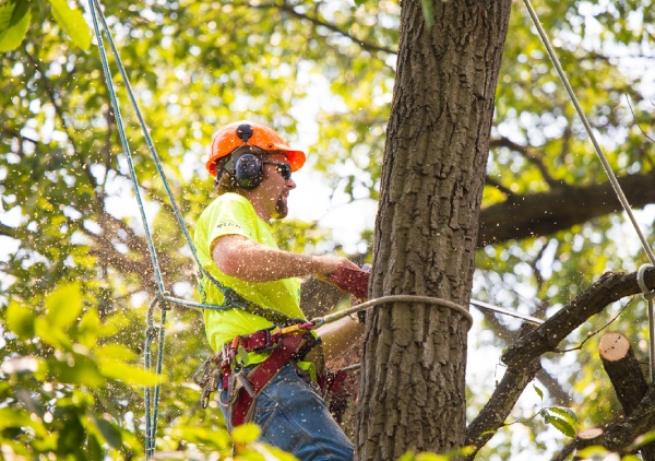 tree removal contractor canberra